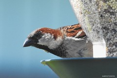 Male House Sparrow, adult breeding (JSB PHOTOGRAPHS) Tags: dscn2316 copy eugene oregon usa male housesparrow adultbreeding passer domesticus p900 wildlife