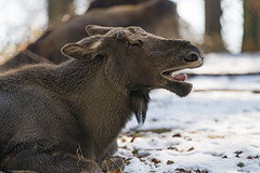Funny young moose (Tambako the Jaguar) Tags: moose young lying resting profile portrait openmouth funny cute snow winter cold langenberg tierpark wildpark zürich switzerland nikon d5