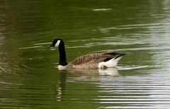 Goose Reflection Photography (hazelwood41) Tags: animals geese kentucky canont1i nature reflection photography