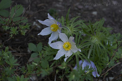 "Pasqueflower • <a style=""font-size:0.8em;"" href=""http://www.flickr.com/photos/63501323@N07/42369200842/"" target=""_blank"">View on Flickr</a>"