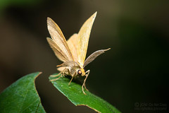 Macro Monday: All Natural (jciv) Tags: file:name=dsc03646 macro insect moth macromonday allnatural