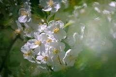 Blossom (janrs7) Tags: shrubs blooming blossom may bush light macro tamron70300mmmacro summer flowers garden flora sunny dreamy smoothbokeh bokeh