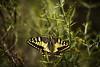 "Tatoo. ( press ""L"" ) (J. Javier Nerín.( Busy. Training orcs.)) Tags: takumarbayonet135f25 butterfly papiliomachaon papilonacea springtime primavera evening cloudy papillon macromondays allnatural"