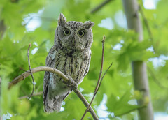 Eastern Screech Owl (aj4095) Tags: eastern screech owl spring bird nature wildlife ontario canada