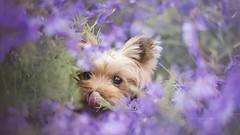 little elf Pettit (kahora777) Tags: dogphotography animalsphotography petphotography portrait pet spring beauty yorkshireterrier outdor colours elf flowers