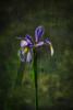 Iris (scot.howe) Tags: morninglight textured iowa desmoines greenwoodpark flower iris