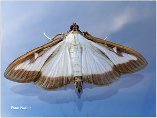 Box tree moth on the window (Explored)
