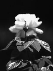 Bud & Flower (LXG_Photos) Tags: eos3 flower svemabluesensitive slowfilm reallyslowfilm fpp blackandwhite blancoynegro 白黒 iso6 monochrome shotonfilm ishootfilm filmisnotdead noiretblanc schwarzundweis biancoenero 花 fleurblume fiore flor película