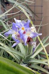 Tillandsia bergeri 5-18 (nolehace) Tags: plant bloom flower tillandsia bergeri 518 fz1000 spring nolehace sanfrancisco
