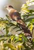 alma-de-gato - piaya cayana (ricardo japur) Tags: wild nature cerrado birds fauna
