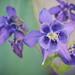 Gewöhnliche Akelei (Aquilegia vulgaris)