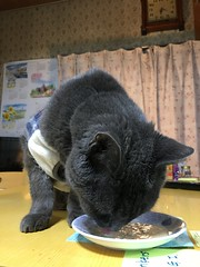 """Yummy!"" (sjrankin) Tags: 31may2018 edited animal cat bonkers closeup snack food catfood kitchen table yubari hokkaido japan"