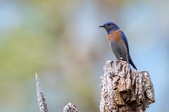 Western Bluebird Male (Melanie Leeson) Tags: birdsofcanada birdsofbritishcolumbia melanieleesonwildlifephotography nikond500 nikkor200500mm birds dlsr thrusheslarksandpipits sialiamexicana blingsister birdsofnorthamerica nikon westernbluebird