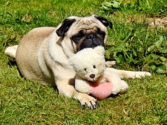Lola the pug (nickar1978) Tags: dog pug spring london