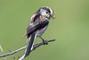 Long Tailed Tit (Linda Martin Photography) Tags: dorset longtailedtit wildlife aegithaloscaudatus nature bird longhamlakes uk animal coth alittlebeauty naturethroughthelens coth5 ngc npc