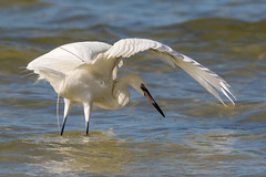 Reddish Egret (white morph) (Gary McHale) Tags: bird sea gulf coast fort myers florida gary mchale reddish egret white morph