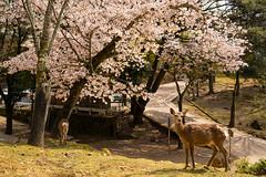 鹿と桜 / Cherry Blossoms and Shika Deer (kimtetsu) Tags: 奈良 nara 奈良公園 narakoenpark 桜 cherryblossoms 春 spring 鹿 deer shikadeer 野生動物 wildanimal 日本 japan wildlife 動物 animal