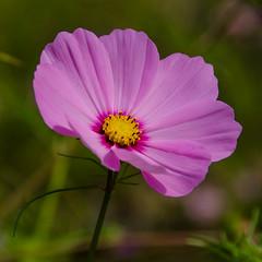 Cosmos (Sarah Anne Mac) Tags: comos pinkcosmos flowerwatcher fleur floral