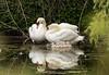 Swans and Cygnets-8765 (Geoffrey Shuen Photography) Tags: swan cygnets