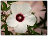 Stylized Hibiscus (PEN-F_Fan) Tags: pencamera on1photoraw2018 on1photoraw photoframe photoedge photoborder mirrorless microfourthirds mft olympuspenf oats northamerica texas style splittone zoomlens unitedstatesofamerica type preset postprocessing plant shrub raw processingsoftware flower hibiscusmoscheutos effect camera crimsoneyedrosemallow m43 marshmallowhibiscus mzuiko12100mmf40pro ladybirdjohnsonwildflowercenter lens austin