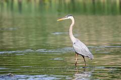 Great Blue Heron (mayekarulhas) Tags: philadelphia pennsylvania unitedstates us greatblueheron johnheinznaturereserve canon canon500mm canon1dxmark2 wildlife avian