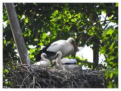 Ciconia ciconia (M.L Photographie) Tags: oiseau bird birds oiseaux cigogne ciconia stork nature naturelovers wildlife wildlifephoto wildlifephotography france normandie normandy animal wildanimal p900 coolpix nikon
