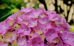 Hortensia (toni baeza oto) Tags: primavera flors jardí riells