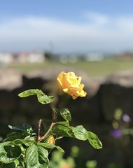 Thinking of you..x (shona.2) Tags: eastlothian scotland gullane thoughts leaves petals summer sunshine yellow rose flower