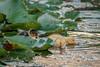 IMG_8207-bewerkt (.FB.com/WildeBoerPhotography) Tags: eend duck animals birdwatching birds waterbirds nature natuurmonumenten nationalgeographic cwildeboerphotography wwwwildeboerphoto wwwfacebookcomwildeboerphotography wwwinstagramcomdeboerit
