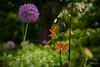 Chanticleer - June (Jen MacNeill) Tags: chanticleer gardens public pa garden gardening plant plants nature allium lily flower flowers