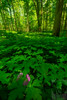 Emerald Forest (Justin Smith - Photography) Tags: forest wildflowers green lickbrook fingerlakes ny newyork nikond800 nikon1735mmf28 justinsmith wwwjustinsmithphotocom