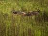 Resting (sensatyaki7) Tags: kaziranga canonindia nature wildlife