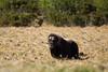 Moskus - Musk Ox-2.jpg (Robert Fredagsvik - Norway) Tags: moskus muskox dovre mountain animals landscape norway høstfarger dyrnorge animalsnorway tierenorwegen norge norwegiannature canon