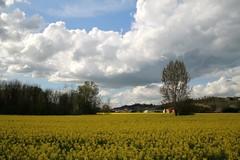 (Matteo Bimonte) Tags: colza toscana tuscany paesaggio countryside campagna sanminiato corazzano