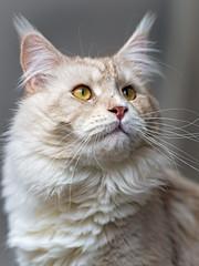 Another portrait of Pablo (Tambako the Jaguar) Tags: mainecoon domestic cat male cream beige white tabby portrait face posing lookin fällanden zürich switzerland nikon d5