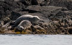 Sunbathing (Charlotte Varela) Tags: isleofskye skye scotland innerhebrides wildlife nature seal commonseal armadale