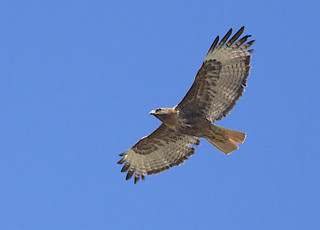 Red-tailed Hawk dark phase, Diamond, Harney Co., OR_6358