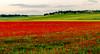 AMAPOLAS en la Toscana Toledana (javier hernandez sanchez) Tags: poppies amapolas sagra toledo