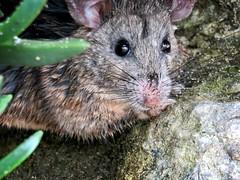 Am I a Rat? (Bennilover) Tags: hem rat mystery beach lagunabeach id