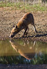 thirst (Angelo Petrozza) Tags: thirst sete fox volpe reflection riflesso wild selvatico 55300f458 angelopetrozza
