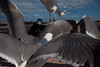 Harmonia Mundi (thierry_meunier) Tags: afrique essaouira maroc morocco birds city fisherman harbour mer mouette ocean oiseaux pecheur port sea seagull travel ville voyage