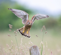 Female Kestrel (Nigey2) Tags: