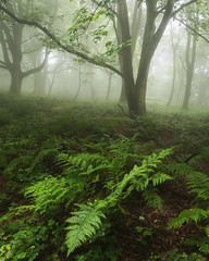 Green and Grey (Damian_Ward) Tags: ©damianward damianward beech trees chilterns chilternhills thechilterns fog mist buckinghamshire wood forest woodland