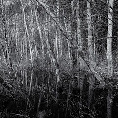 A confusion of trees (Tim Ravenscroft) Tags: trees lake reflections woodland monochrome blackandwhite blackwhite hasselblad hasselbladx1d x1d