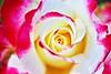 Divine rose,Iwamoto Mountain Park (ULTRA Tama) Tags: roses iwamotomountainpark japan shizuoka fuji todays dayliphoto instadaily photogenic igjapan loversnippon worldcaptures flickrfriday welovef june 2018 flower divine rose