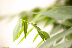 Sie sind wieder da.... (martinap.1) Tags: grashüpfer grasshopper green grün nature nikon 105mm d3300 natur pflanze animals tier insekt insect macro makro avril