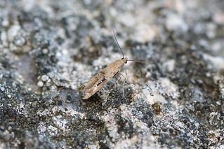 Epermenia chaerophyllella, Burntisland, Fife, Scotland