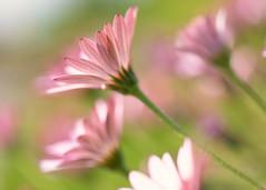 Daisies (mclcbooks) Tags: flower floral macro closeup daisy daisies denverbotanicgardens colorado