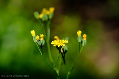 Yellow And Green (David S Wilson) Tags: fujinonxf2880mmmacro floral davidswilson fens flower cambridgeshire 2018 flowers fujifilmxh1 flowersplants ely fujifilm england