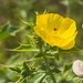 Cardo, amapola mejicana | mexican yellow Poppy (Argemone mexicana)